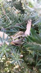 froggy thinks he can hide from me #inthegarden (ClareSnow) Tags: inthegarden motorbikefrog frog litoria litoriamoorei westringiadampieri garden perth australia spring