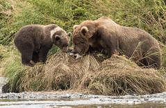Mom Wants the Fish (Rick Derevan) Tags: alaska kodiak bear brownbear kodiakbrownbear
