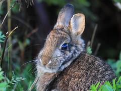 Looking for birds, found a rabbit :)   ...explored 12 hours! (Paridae) Tags: rabbit rabbitforaging mammalsofbritishcolumbia mammalsofmudbay wildanimalsofbritishcolumbia wildlife bunny furryfriends awarmfuzzy afewofmyfavouritethings canoneos7d