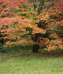 IMGP8928 (Roger Dickens) Tags: westonbirt trees acers autumn autumncolours gloucestershire