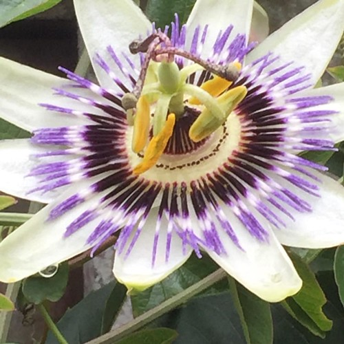 Personally I think the #passionflower is a #star of #mothernature. #flowers #flowersofinstagram #octoberphotoaday #fmsphotoaday Prompt for October 30th #star #littlemomentsapp