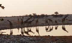 Namibia's Beauty:  23. Giraffes at Okaukuejo, Etosha (ronmcbride66) Tags: namibia namibiasbeuty giraffes waterhole okaukuejo drought desert etosha