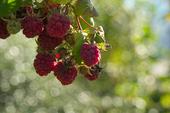 Raspberries (natural illusions) Tags: november fruit autumn red raspberry rubus closeup dof bokeh pentax k200d rawtherapee imagemagick plant outdoor slovenia europe depthoffield nature sigma bubbles yummy delicious sunlight lb1415 allrightsreserved