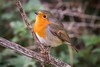 Robin Red breast (deltic17) Tags: robin red bird avian wildlife winter autumn forest woodland canon 5dmk3