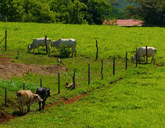 Build a fence and they will come! (ltimothy off/on) Tags: cows vacas costarica fence cerca