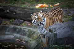 Tiger (DeanB Photography) Tags: tier tiere tiger zoo magdeburg raubtiere raubtier raubkatze katze fleischfresser