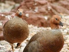 Ruddy-headed Goose (Standardwing) Tags: ruddyheadedgoose anatidae bronxzoo