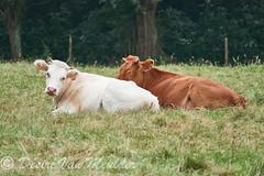 Twee kameraden - Two comrades (desire van meulder) Tags: animals dieren mammals zoogdieren melkkoe koe dairycow dairycattle milkcow