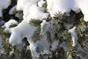 Snow on Blue Spruce - Edmonton, Alberta Canada (nikname) Tags: winter snow snowybranches edmontonwinter albertawinters canadianwinters onesweetworld