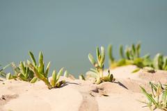 Coastal Gazania (Merrillie) Tags: uminabeach sand plants nature australia nswcentralcoast groundcover newsouthwales grasses nsw centralcoastnsw umina photography coastal outdoors bokeh sandbank centralcoast flora oceanbeach beach