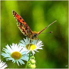 Mlite du mlampyre _Melitaea athalia (nicphor) Tags: insecte papillon rhopalocres nature faune canon eos50d