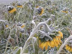 Des Tournesols un bon matin d'automne. (Lise1011) Tags: automne autumn nature olympusomd olympus campagne frimas frozen gele sunflower tournesol fleurs flowers