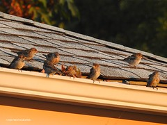 In the gutter - HSS (JSB PHOTOGRAPHS) Tags: morning roof birds gutter hss dscn7361 sliderssunday songsarrows