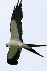 Swallow-tailed Kite (Alan Gutsell) Tags: kite bird nature photo wildlife raptor easttexas swallowtailed texasbirds swallowtailedkite birdsoftexas alangutsell