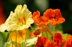 Capucine (Bouteillerie) Tags: macro floral fleur yellow fleurs jaune canon garden jardin t botanique horticulture closion capucine orang vgtal languageofflowers languageofflower bouteillerie