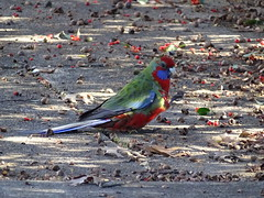 Canberra '15 (faun070) Tags: bird wildlife parrot australia canberra crimsonrosella
