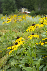 Unexpected visitors (Megan Colleen) Tags: flowers plants nature yellow garden petals pretty adirondacks bloom summertime