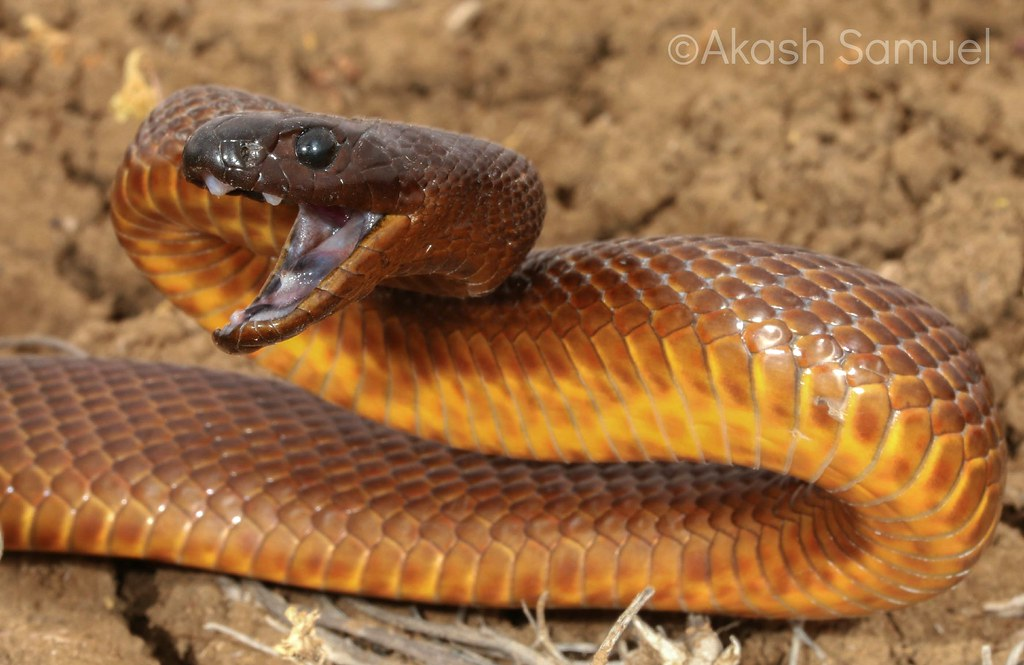 Taipan Snake Photos Pictures Images