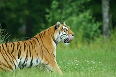 Amur Tiger (Annette Rumbelow) Tags: park tiger safari wilson endangered siberian wiltshire captive longleat siberiantiger annette bigcats carnivore amur rumbelow