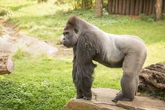 2015-09-03-11h02m01.BL7R3503 (A.J. Haverkamp) Tags: germany zoo gorilla krefeld nordrheinwestfalen kidogo dierentuin westelijkelaaglandgorilla canonef100400mmf4556lisusmlens httpwwwzookrefeldde dob15112000 pobgivskuddenmark