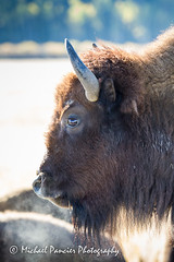 Wildlife in the Grand Tetons (Michael Pancier Photography) Tags: nature us buffalo unitedstates wildlife jackson wyoming nationalparks bison americathebeautiful jacksonhole fineartphotography naturephotography grandtetonnationalpark americansouthwest michaelpancier michaelpancierphotography nationalparkphotography americasnationalparks fallinthenationalparks