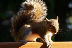 DSC04889 (Trisha Pearson) Tags: babysquirrel easterngraysquirrel