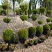 10 Topiary ball boxwood