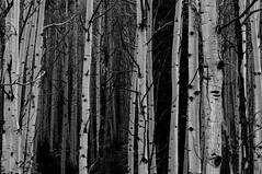 Aspen Forest (Laurie-B) Tags: autumn usa mountain west fall america landscape us colorado united unitedstatesofamerica north central september american northamerica mountainside northamerican 2015 explored dpca