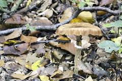 IMG_3079-Modifier (mycenium) Tags: wood mushroom canon belgium region foret brabant champignon bois 6d wallon wallonie wallone belgiquie
