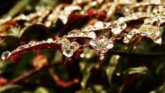 gocce (66Colpi) Tags: macro rain drops foglia acqua rugiada pioggia gocce goccioline