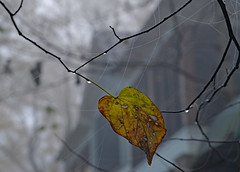 Leaf Message ~ Be Thankful For Support! (BKHagar *Kim*) Tags: autumn fall leaves fog droplets leaf message spiderweb foggy happythanksgiving bethankful bkhagar