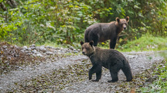 Mommy calling back her Cubs... (anoopbrar) Tags: bear wild portrait fish canada nature water animal animals alaska river island photography fishing rainforest bc natural outdoor britishcolumbia wildlife bears hunting dream salmon reserve vancouverisland hunter cubs grizzly wilderness brownbear bearcub grizzlybear wildlifephotography orfordrivervalley