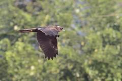 Western Marsh Harrier - Circus aeruginosus (juvenile) (amitbandekar) Tags: india circus goa harrier aeruginosus sirigao