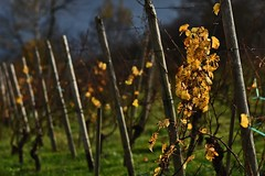 A walk in the vineyards (heinrich_511) Tags: germany vineyard d750 mosel longuich 1485mm