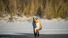 Red Fox at IBSP - 13 (RGL_Photography) Tags: us newjersey unitedstates wildlife fox jerseyshore oceancounty mothernature ibsp redfox vulpesvulpes carnivora islandbeachstatepark berkeleytownship barnegatpeninsula nikond610 tamronsp150600mmf563divcusd