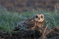 Short-eared Owl (Asio flammeus) (Ron Winkler nature) Tags: bird netherlands canon birding owl birdwatching vogel asio asioflammeus shorteared flammeus
