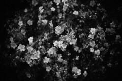 (bendikjohan) Tags: flowers bw white black film nature oslo norway blw 1600 neopan bnw bl