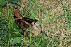 _MG_9629 (AMPMartins) Tags: portugal aves passeios aveiro