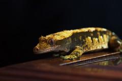 Scrambles (kintarotpc) Tags: reptile gecko crested