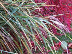 5994 Zebra Grass - Miscanthus sinensis in our back yarden (Andy - Busyyyyyyyyy) Tags: 20161115 gardenshoot ggg leaves miscanthussinensis plants ppp zebragrass zebragrassmiscanthussinensis zzz