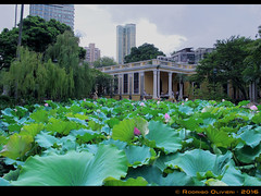 Lotus-Garden (Olivieri Cinematografia Digital) Tags: allshots amazing awesome bestoftheday colorful contrast creative digital exposure feelgoodphoto focus foto holidays ishootraw life masterpiece moment nice nikon oliviericinematografiadigital outdoorphotography photographylovers photographysouls photooftheday rodrigo rodrigoolivieri sweet traveladdict travellife travelphoto travelphotography traveltheworld aroundtheworld shooting olivieri china macau lotus lotusflower flower