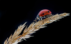 ladybug backlit (WernerKrause) Tags: backlight macromondays makro marienkfer backlite ladybug macro cwwwwernerkrauseeu 2016 33explore