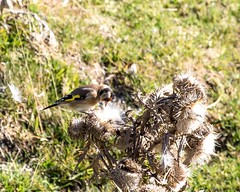 27 10 2016 (cathyk31) Tags: cardueliscarduelis chardonneretlgant europeangoldfinch fringillids passriformes bird oiseau chardonneretlgant fringillids passriformes