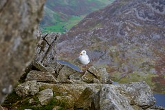 Lunchtime guest on Tryfan in Snowdonia (neilsimpson515) Tags: nikon2470 tryfan snowdonia northwales nikon nikond800e landscape mountains