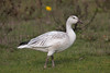 Snow Goose (R Hardy) Tags: esquimaltlagoon colwood vancouverisland snowgoose