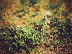 Springtime Never Dies (Jon-F, themachine) Tags: jonfu 2016 olympus omd em5markii em5ii em5mkii em5mk2 em5mark2  mirrorless mirrorlesscamera microfourthirds micro43 m43 mft ft      snapseed japan  nihon nippon   japn  japo xapn asia  asian fareast orient oriental aichi   chubu chuubu   nagoya  outdoors  nature  plants  flower flowers   plant flora