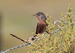 Fauvette pitchou (m-idre31 - 5 millions de vues merci) Tags: bird gruissan aude fauvettepitchou