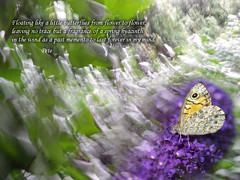 Forever in my mind (PanAmerican09) Tags: butterfly forever mindnature floating hyacinth bokeh poem poetry words text springhyacinth wind