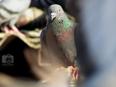 The Pegion here is a beautiful bird, of a delicate bronze color, tinged with pink around the neck, and the wings marked with green and purple (Siddesh Bhagat) Tags: pegion bird beautiful beautifulbird dadar photography streetphotography birdphotography travelphotography
