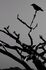 The Crow (Nick Fewings 4.5 Million Views) Tags: nickfewings eerie sinister contrast bw noiretblanc schwarzweiss schwarzundweiss monochrome white black branch tree bird crow